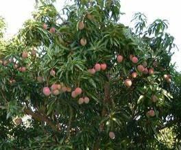 Mangoustan antioxydant naturel puissant bio