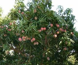 Le mangoustan bio